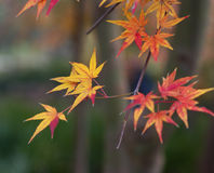Red autumn leaves. A sign of autumn with red and gold leaves on a tree branch against a blurred background Royalty Free Stock Images