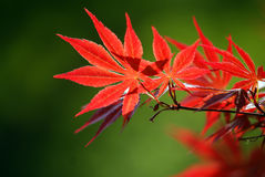 Red autumn leaves. Closeup of bright red autumn leaves.  Green background Royalty Free Stock Images