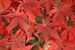 Red Autumn Leaves. Bright red fall leaves in detail Stock Photo
