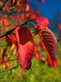 Red autumn leaves. Red & orange autumn leaves on branches Royalty Free Stock Photography