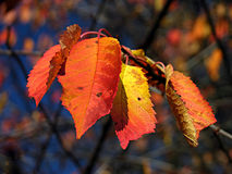 Red autumn leaves. Red & orange autumn leaves on branch Royalty Free Stock Photos