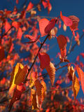 Red autumn leaves. On top branch of tree Royalty Free Stock Image
