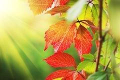 Red autumn leaves. Beautiful red autumn leaves in sunshine. Close-up, shallow DOF royalty free stock photos