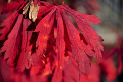 Red autumn leaves. A closeup view of a cluster of bright red autumn leaves Royalty Free Stock Images