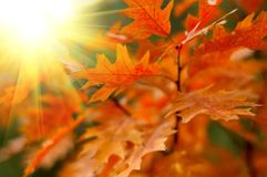 Red autumn leaves. With bright sun Stock Photography