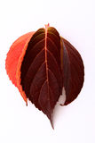 Red autumn leaves. Illustrated of autumn leaves in different shades of red, white background stock illustration
