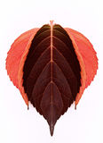 Red autumn leaves. Illustration of red and crimson autumn leaves with white background vector illustration