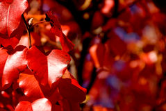 Red autumn leaves Stock Image
