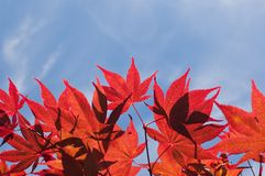 Red autumn leaves against blue sky Royalty Free Stock Photography