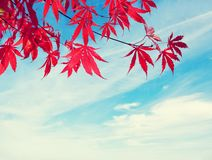 Red Autumn Leaves. Royalty Free Stock Images