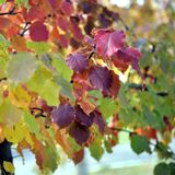Red autumn leaves on apple-tree background, a small depth of field Stock Image
