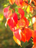 Red autumn leaves in autumn Royalty Free Stock Photography