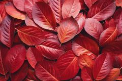 Red Autumn Leaves Background. Closeup of Red Aronia Autumn leaves background texture. Red Autumn Leaves Background. Aronia melanocarpa Chokeberry autumn leaves royalty free stock photo
