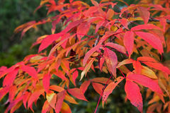 Red autumn leaves. On a background of green foliage Stock Images