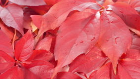 Red autumn leaves background, nature backgrounds stock footage