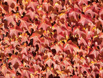 Red autumn leaves background pattern. Red autumn leaves growing on a wall background pattern royalty free stock photos