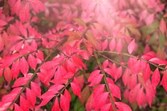 Red autumn leaves background at sunrise or sunset. Branch with b. Loody color leaf in the fall season. Great foliage decoration, best conceptual picture for the royalty free stock photo