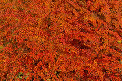 Red autumn  leaves barberry Royalty Free Stock Photos