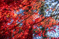 Red autumn leaves bathing sunlight  with soft background of big. Red autumn leaves bathing sunlight with soft background of big tree and blue sky, Nikko, Japan Stock Images