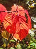 Red autumn leaves. Beautiful autumncolours of leaves Royalty Free Stock Photos