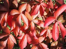 Red autumn leaves. Beautiful red autumn leaves on a tree stock photos