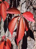 Red autumn leaves. Beautiful red autumn leaves on a tree stock images