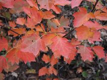 Red autumn leaves. Beautiful red aun leaves on a tree royalty free stock photo