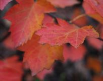 Red autumn leaves. Beautiful red aun leaves on a tree stock photography