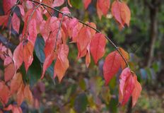 Red autumn leaves. Beautiful red autumn leaves on a tree stock image