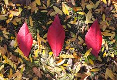 Red autumn leaves. Beautiful red autumn leaves on a tree royalty free stock image