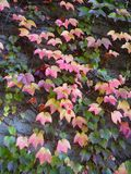 Red autumn leaves. Beautiful red autumn leaves on a tree royalty free stock images