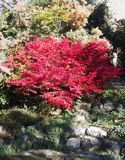 Red autumn leaves. Beautiful red autumn leaves on a tree royalty free stock photos