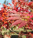 Red autumn leaves. Beautiful red autumn leaves on a tree royalty free stock photo