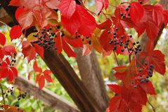 Red autumn leaves and berries royalty free stock photography