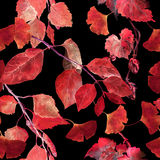 Red autumn leaves, black background. Seamless contrast autumn pattern. Watercolor Stock Photos