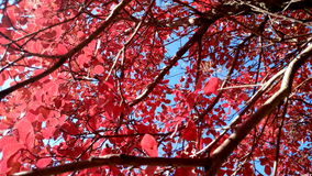 Red autumn leaves with blue sky colorfull background autumn Royalty Free Stock Photography