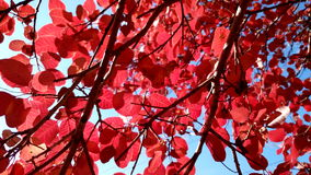 Red autumn leaves with blue sky colorfull background autumn. Red autumn leaves with blue sky Royalty Free Stock Photos