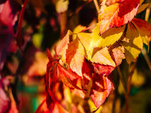 Red autumn leaves with blurred background. Red and yellow autumn leaves with blurred background Royalty Free Stock Image