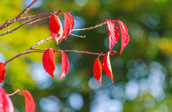 Red autumn leaves. With bokeh  background Royalty Free Stock Images