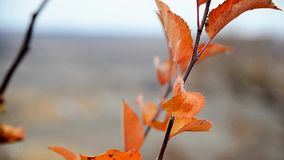 Red autumn leaves on the branch stock footage