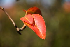Red autumn leaves on the branch Royalty Free Stock Photo