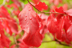 Red autumn leaves. On a branch outdoors Stock Photo