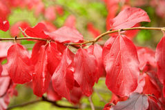 Red autumn leaves. On a branch outdoors Royalty Free Stock Photography