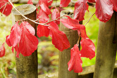 Red autumn leaves on a branch. Outdoors Stock Photo