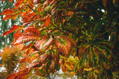 Red autumn leaves of chestnut Royalty Free Stock Photos