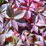 Red autumn leaves of chokeberry Royalty Free Stock Photography