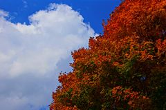 Red autumn leaves in the clear blue sky Stock Photography
