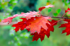 Red autumn leaves close-up, green blurry background. Twig of red autumn leaves close-up, green blurry background Stock Photography