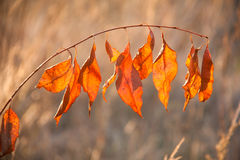Red autumn leaves closeup. Closeup of yellow leaves in forest Stock Photography