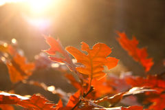 Red autumn leaves closeup. Closeup of yellow leaves in forest Royalty Free Stock Image